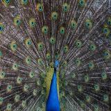 Avatar de Peacock